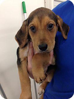 Foxhound Mix Puppy for adoption in Newburgh, Indiana - Ria