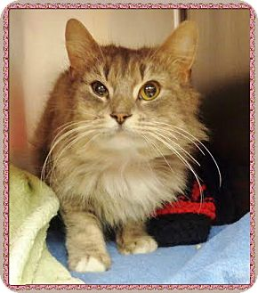 Domestic Mediumhair Cat for adoption in Marietta, Georgia - PETUNIA (R)