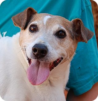 Fox Terrier (Smooth) Mix Dog for adoption in Las Vegas, Nevada - Iggy
