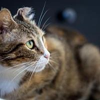 Calico Cat for adoption in Santa Monica, California - Lily
