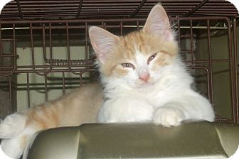 Domestic Longhair Kitten for adoption in Acme, Pennsylvania - MOZART
