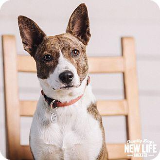 Australian Cattle Dog/Basenji Mix Dog for adoption in Portland, Oregon - Strawberry