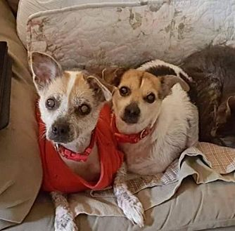 Chinese Crested/Jack Russell Terrier Mix Dog for adoption in Kingston, New York - Princeton and Pee Wee (courtesy listing)