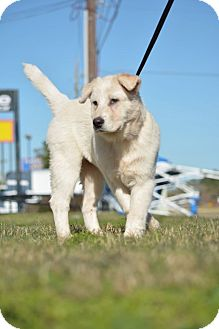 Great Pyrenees/Australian Shepherd Mix Puppy for adoption in Houston, Texas - Bear