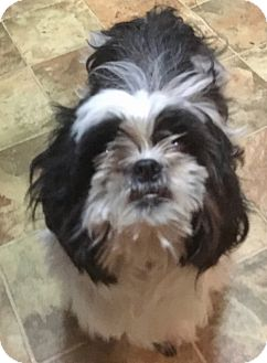 Shih Tzu Dog for adoption in Brooklyn, New York - Princess