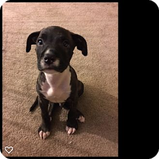 Pit Bull Terrier Puppy for adoption in Fallbrook, California - Baxter