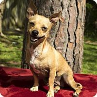 Adopt A Pet :: Rose-dainty doll-S - Santa Fe, TX