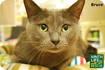 Domestic Shorthair Cat for adoption in Oakville, Ontario - Bruce