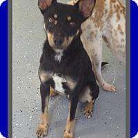 Adopt A Pet :: TOBY - Mount Royal, QC