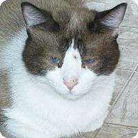 Siamese Cat for adoption in Mexia, Texas - Otis
