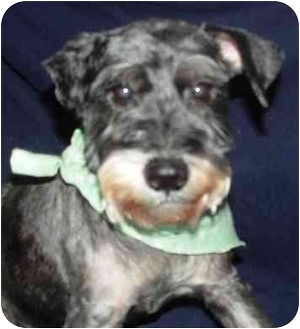 Schnauzer (Miniature) Mix Dog for adoption in Portsmouth, Rhode Island - Bernadette