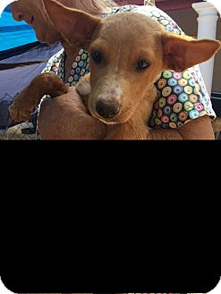 Labrador Retriever Mix Puppy for adoption in Mesa, Arizona - SASSY 10 WK LAB HEELER