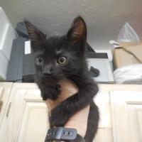 Adopt A Pet :: Obama - Morgan Hill, CA