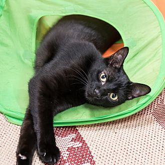 Domestic Shorthair Cat for adoption in Houston, Texas - Zeppelin