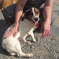 Beagle/Basset Hound Mix Dog for adoption in Staunton, Virginia - Wubsey