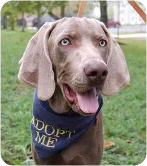Weimaraner Puppy for adoption in Murfreesboro, Tennessee - Rylan- ADOPTED!!!