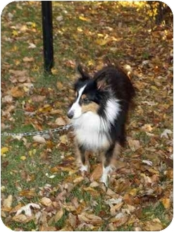 Sheltie, Shetland Sheepdog/Sheltie, Shetland Sheepdog Mix Dog for adoption in Sheboygan, Wisconsin - Patches