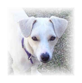 Jack Russell Terrier Mix Dog for adoption in Phoenix, Arizona - DOLLY