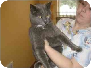Domestic Shorthair Cat for adoption in Libby, Montana - Angel