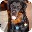 Photo 1 - Rottweiler Dog for adoption in Cedar Creek, Texas - Honey Bear