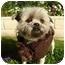Photo 1 - Shih Tzu Mix Dog for adoption in Los Angeles, California - Jingle