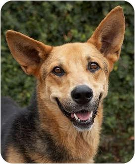 German Shepherd Dog Mix Dog for adoption in Los Angeles, California - Rex von Rothchild