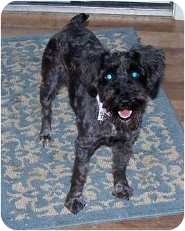 Schnauzer (Miniature)/Poodle (Miniature) Mix Dog for adoption in San Angelo, Texas - July