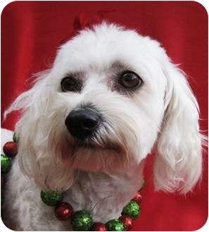 Poodle (Miniature)/Bichon Frise Mix Dog for adoption in Irvine, California - Eve