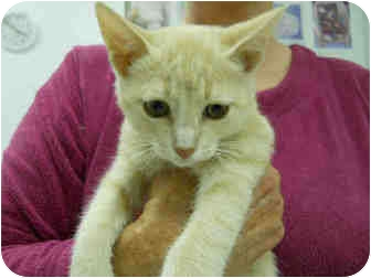Domestic Shorthair Cat for adoption in San Clemente, California - BASIL