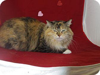 Domestic Mediumhair Cat for adoption in Rock Springs, Wyoming - Harmony