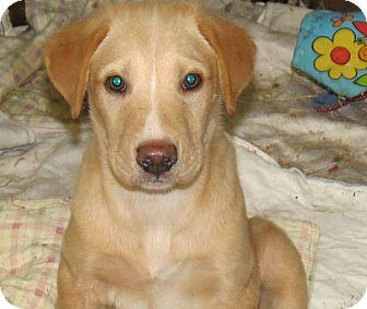 Collie/Labrador Retriever Mix Puppy for adoption in Lima, Pennsylvania - Tammy