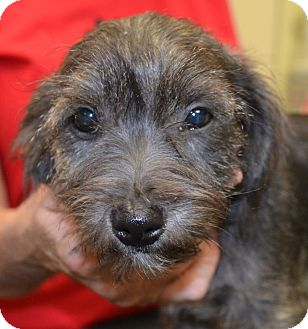 Schnauzer (Miniature) Mix Puppy for adoption in Washington, D.C. - PeeWee