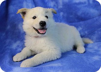 Samoyed/Husky Mix Puppy for adoption in Westminster, Colorado - Coconut