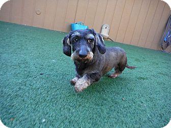Dachshund Dog for adoption in Dublin, California - Buddy
