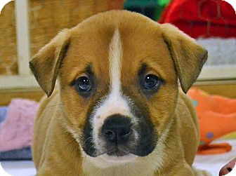 Boxer/Terrier (Unknown Type, Medium) Mix Puppy for adoption in Searcy, Arkansas - Doris