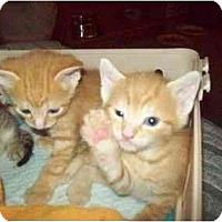 Adopt A Pet :: SO MANY KITTENS - Little Neck, NY