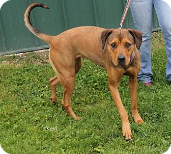 Rhodesian Ridgeback/Siberian Husky Mix Dog for adoption in Hibbing, Minnesota - Kerri