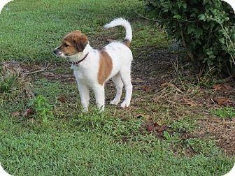 Sheltie, Shetland Sheepdog/Spaniel (Unknown Type) Mix Puppy for adoption in Buford, Georgia - Cowboy-$150.00