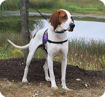 Bloodhound/Coonhound Mix Dog for adoption in Monterey, Virginia - Oliver-adoption special!!