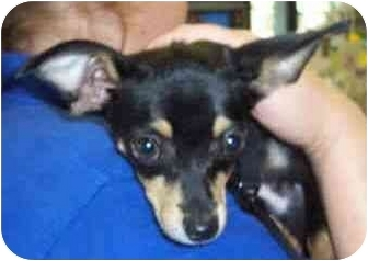 Chihuahua Puppy for adoption in San Clemente, California - CARLIE
