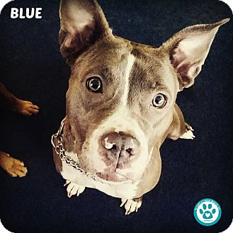 Pit Bull Terrier Mix Puppy for adoption in Kimberton, Pennsylvania - Blue