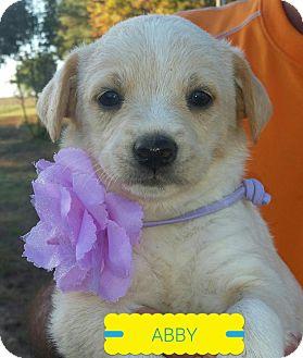 Golden Retriever/Labrador Retriever Mix Puppy for adoption in Glastonbury, Connecticut - Abby, Sadie, and Jessi