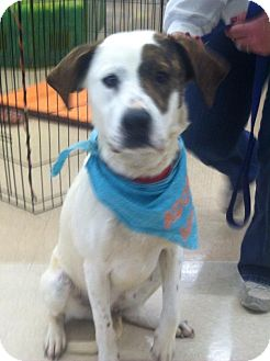 Pointer/Terrier (Unknown Type, Medium) Mix Dog for adoption in Lincolnton, North Carolina - Baby