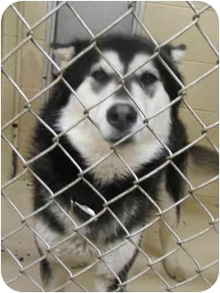Alaskan Malamute Mix Dog for adoption in Various Locations, Indiana - Smiley is URGENT