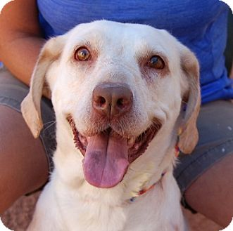 Labrador Retriever Mix Dog for adoption in Las Vegas, Nevada - Bunny