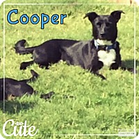 Labrador Retriever Mix Dog for adoption in Rowlett, Texas - Cooper