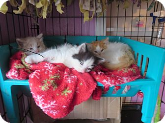 Domestic Mediumhair Kitten for adoption in Coos Bay, Oregon - Boat Basin 3