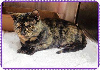 Domestic Shorthair Cat for adoption in Marietta, Georgia - GINA