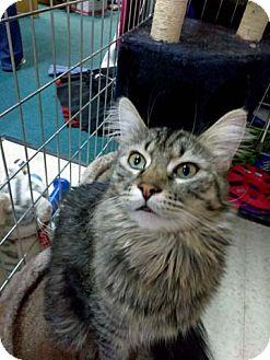 Maine Coon Cat for adoption in Palo Cedro, California - Kodiak