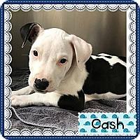 Adopt A Pet :: CASH - Burlington, VT